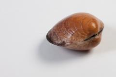 Groothandel-vis-FishXL-schelpdieren-amandes_WL_9455