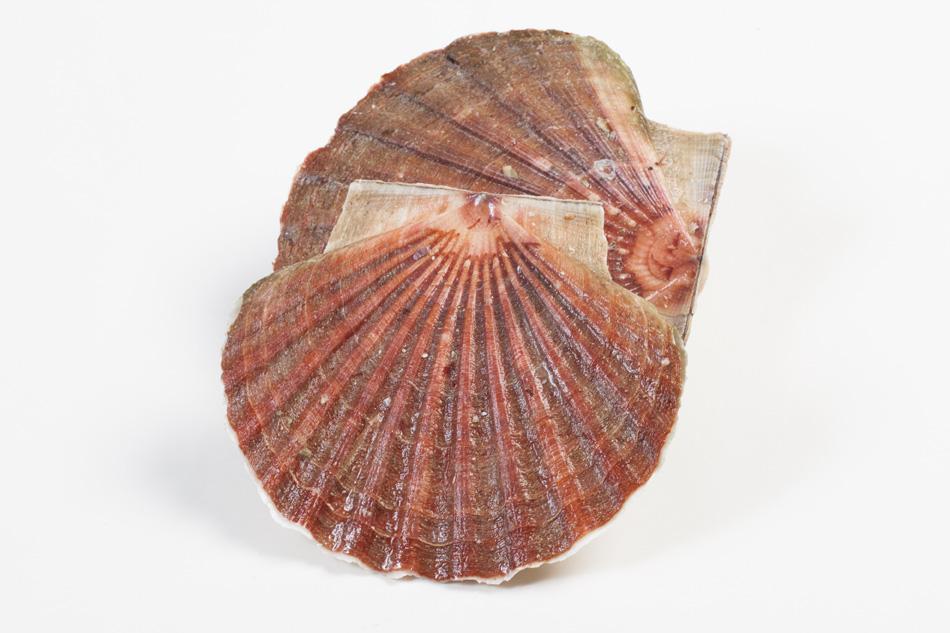 Groothandel-vis-FishXL-schelpdieren-coquilles-st-jacques_WL_9569