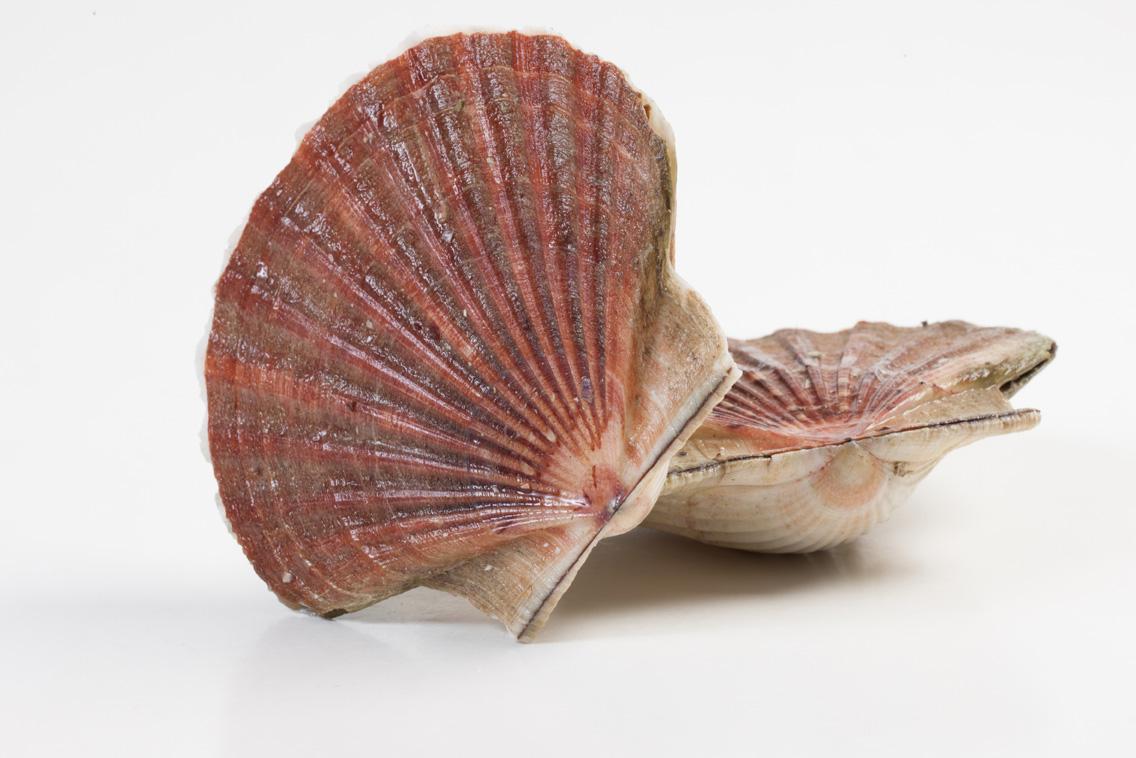 Groothandel-vis-FishXL-schelpdieren-coquilles-st-jacques_WL_9571