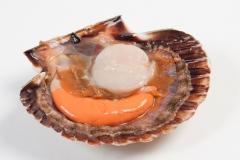Groothandel-vis-FishXL-schelpdieren-coquilles-st-jacques_WL_9574