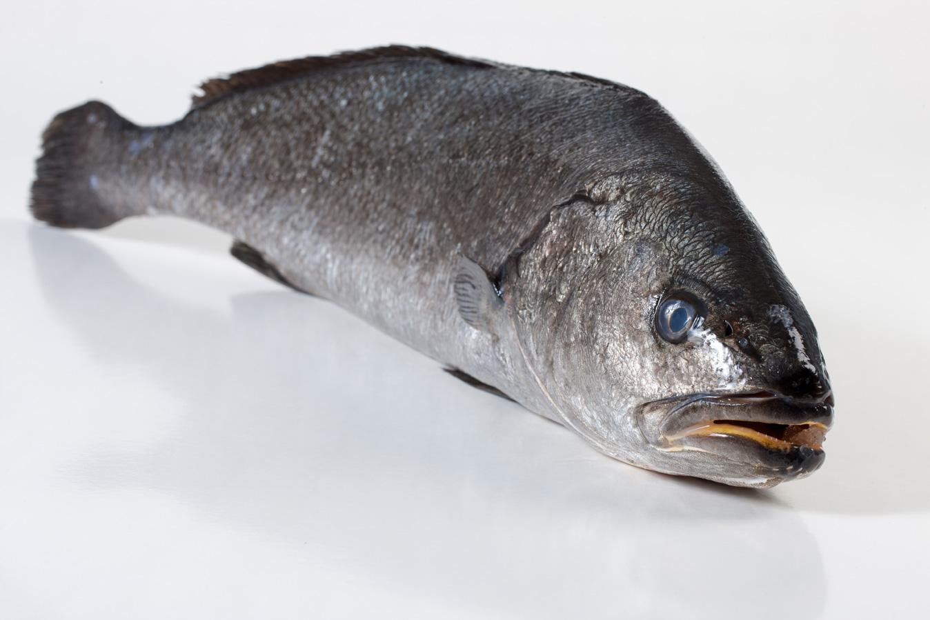 Groothandel-vis-FishXL-vis-corvina_WL_8983