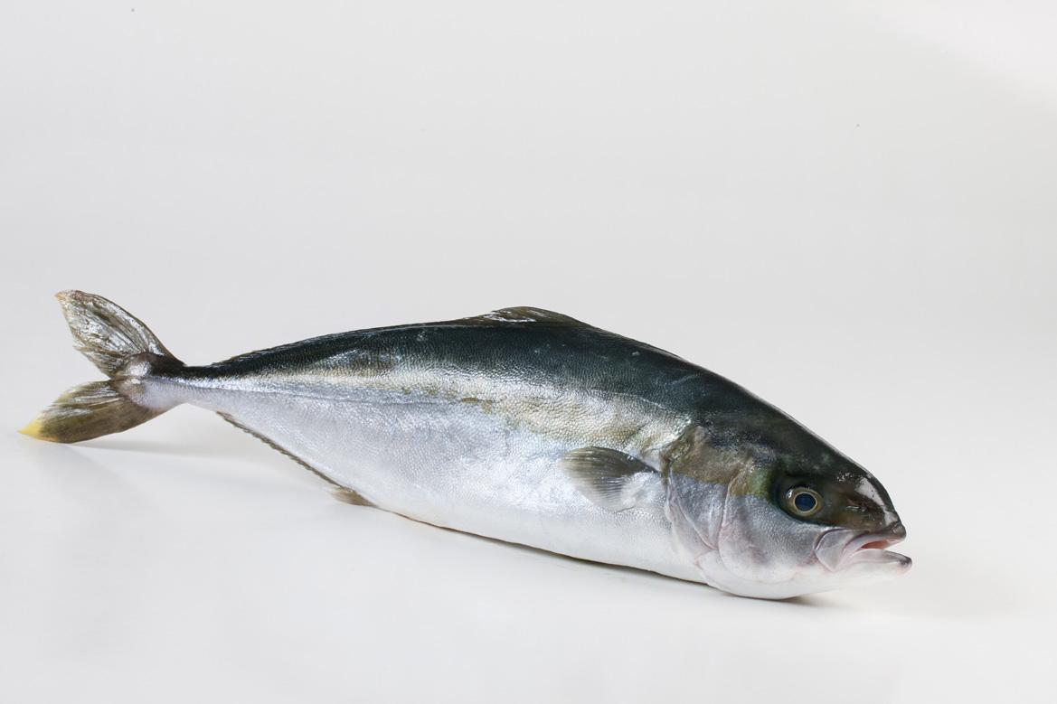 Groothandel-vis-FishXL-vis-hamachi-yellowtail-kingfish_WL_9118