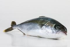 Groothandel-vis-FishXL-vis-hamachi-yellowtail-kingfish_WL_9121