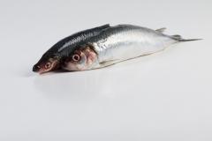 Groothandel-vis-FishXL-vis-haring_WL_9178