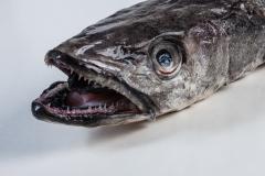 Groothandel-vis-FishXL-vis-heek_WL_9287