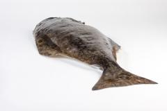 Groothandel-vis-FishXL-vis-heilbot_WL_9301