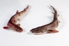Groothandel-vis-FishXL-vis-hondshaai_WL_9241