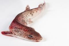 Groothandel-vis-FishXL-vis-hondshaai_WL_9242