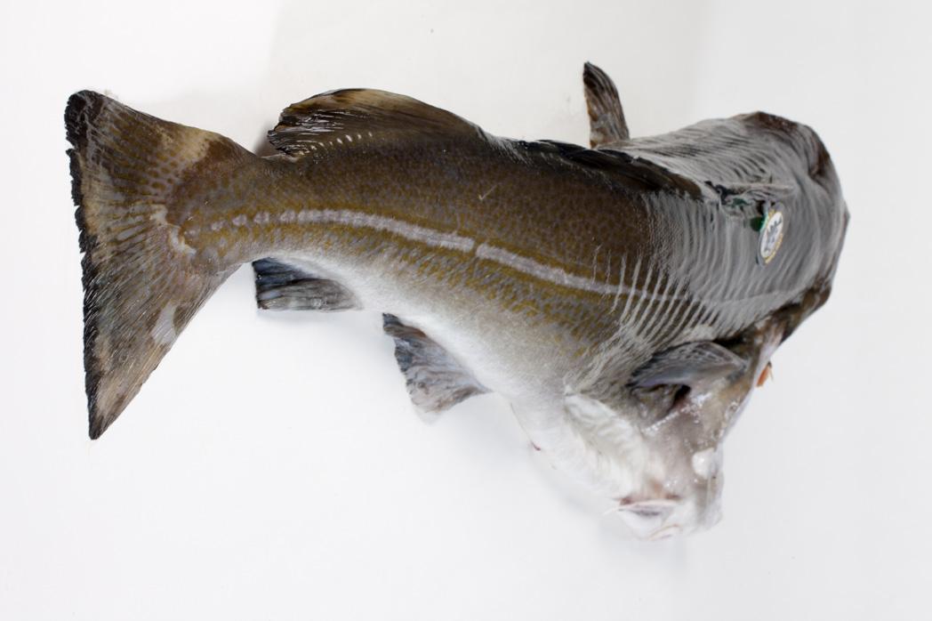 Groothandel-vis-FishXL-vis-skrei-kabeljauw_WL_9084
