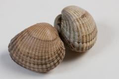 Groothandel-vis-FishXL-schelpdieren-kokkels_WL_9448