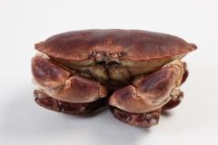 Groothandel-vis-FishXL-schaaldieren-noordzeekrab-bruine-krab_WL_9936