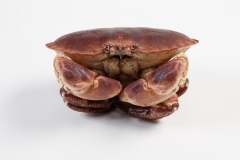 Groothandel-vis-FishXL-schaaldieren-noordzeekrab-bruine-krab_WL_9938
