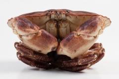 Groothandel-vis-FishXL-schaaldieren-noordzeekrab-bruine-krab_WL_9939