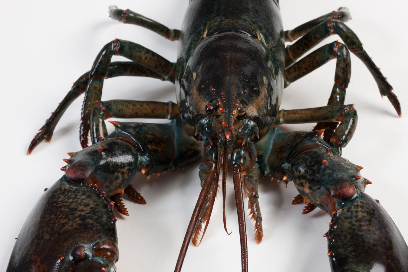 Groothandel-vis-FishXL-schaaldieren-canadese-kreeft_WL_9886
