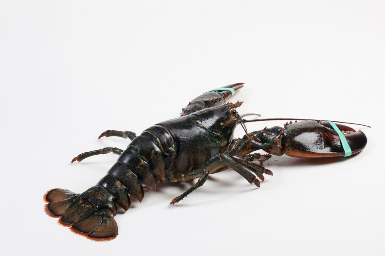 Groothandel-vis-FishXL-schaaldieren-canadese-kreeft_WL_9890