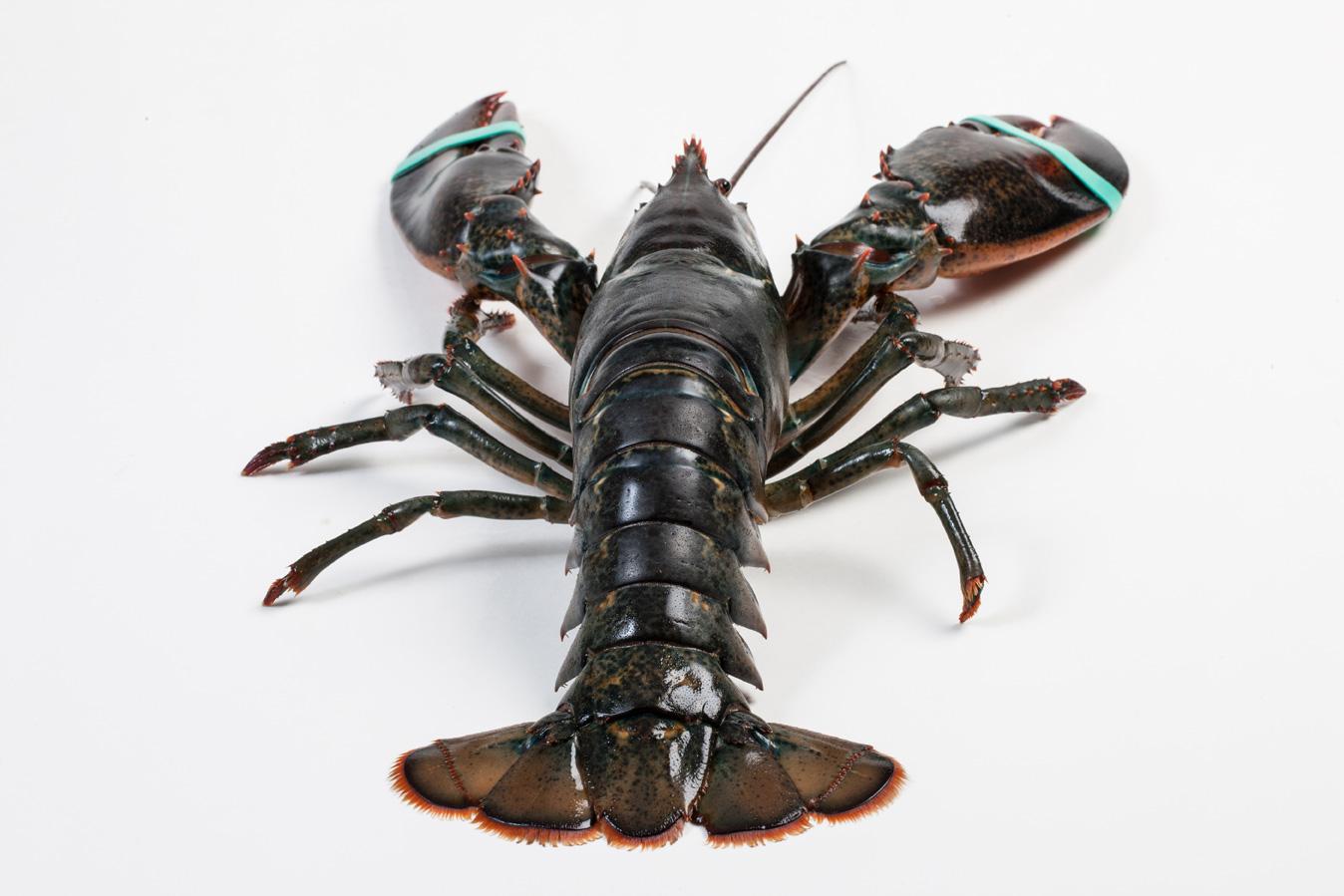 Groothandel-vis-FishXL-schaaldieren-canadese-kreeft_WL_9893