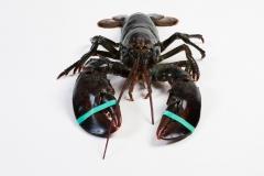 Groothandel-vis-FishXL-schaaldieren-canadese-kreeft_WL_9883