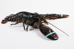 Groothandel-vis-FishXL-schaaldieren-canadese-kreeft_WL_9898