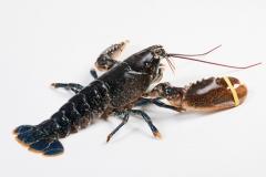 Groothandel-vis-FishXL-schaaldieren-europese-kreeft_WL_9911
