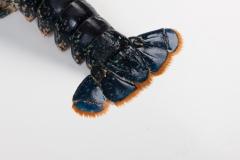 Groothandel-vis-FishXL-schaaldieren-europese-kreeft_WL_9920