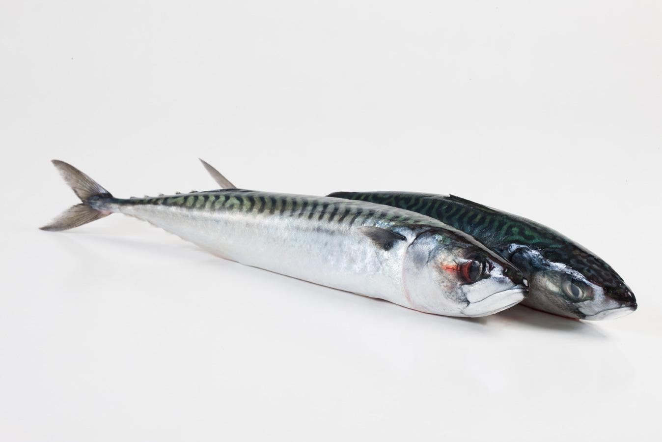 Groothandel-vis-FishXL-vis-makreel_WL_9604
