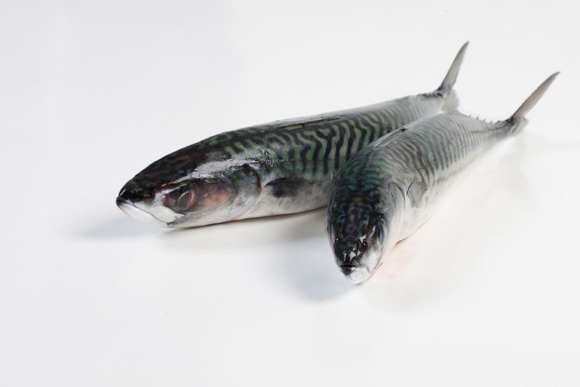 Groothandel-vis-FishXL-vis-makreel_WL_9611