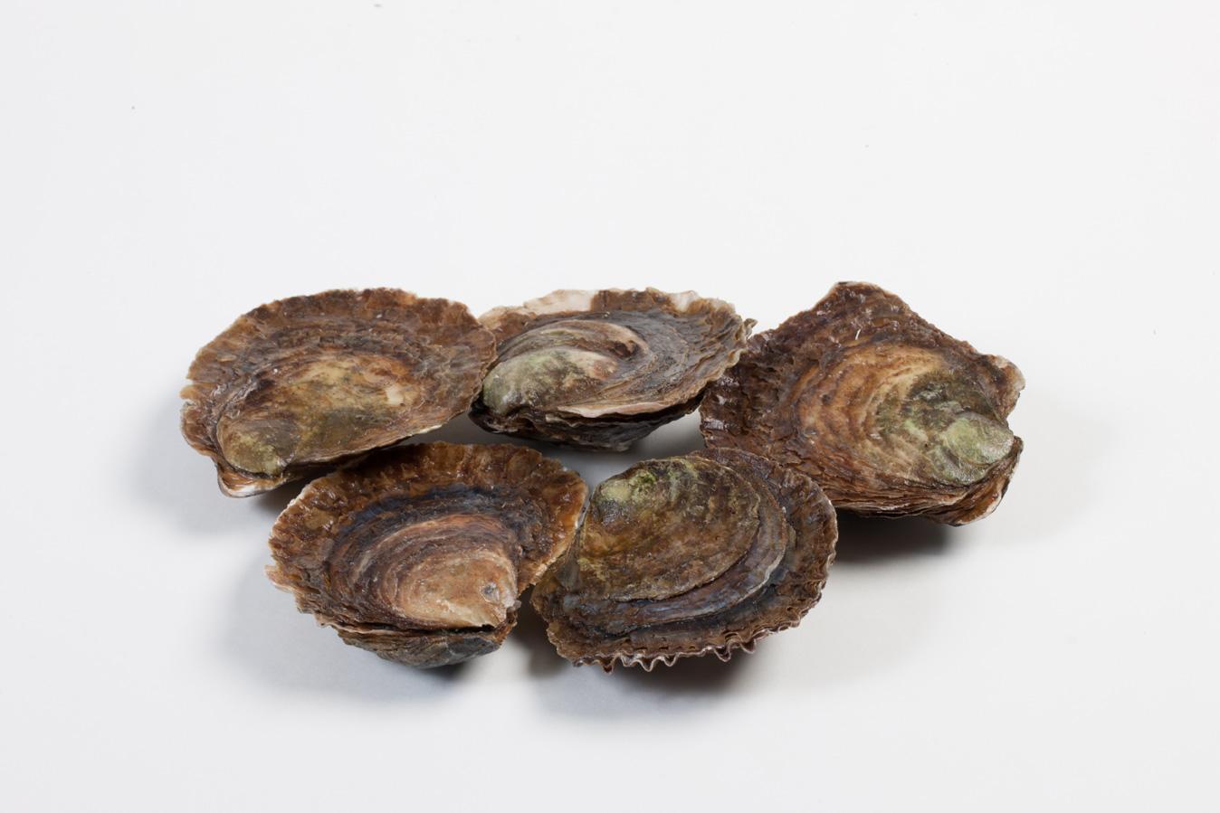 Groothandel-vis-FishXL-schelpdieren-zeeuwse-platte-oesters_WL_9839