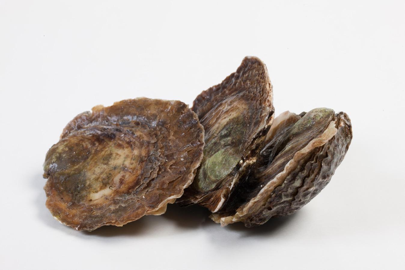 Groothandel-vis-FishXL-schelpdieren-zeeuwse-platte-oesters_WL_9844