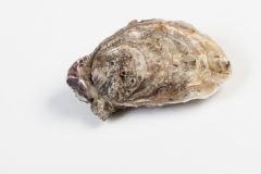 Groothandel-vis-FishXL-schelpdieren-oesters-bretagne_WL_9523