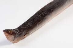 Groothandel-vis-FishXL-vis-gerookte-paling_WL_9531