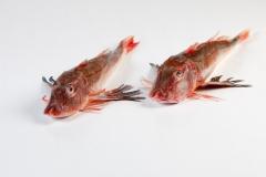 Groothandel-vis-FishXL-vis-rode-poon_WL_9329