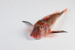 Groothandel-vis-FishXL-vis-rode-poon_WL_9331