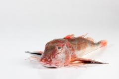 Groothandel-vis-FishXL-vis-rode-poon_WL_9332