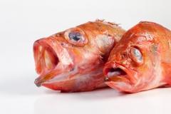 Groothandel-vis-FishXL-vis-roodbaars_WL_9182