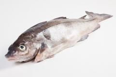 Groothandel-vis-FishXL-vis-schelvis_WL_9558