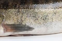 Groothandel-vis-FishXL-vis-snoekbaars_WL_9299
