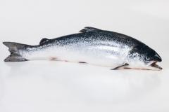 Groothandel-vis-FishXL-vis-atlantische-zalm_WL_9023