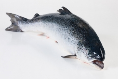 Groothandel-vis-FishXL-vis-atlantische-zalm_WL_9027
