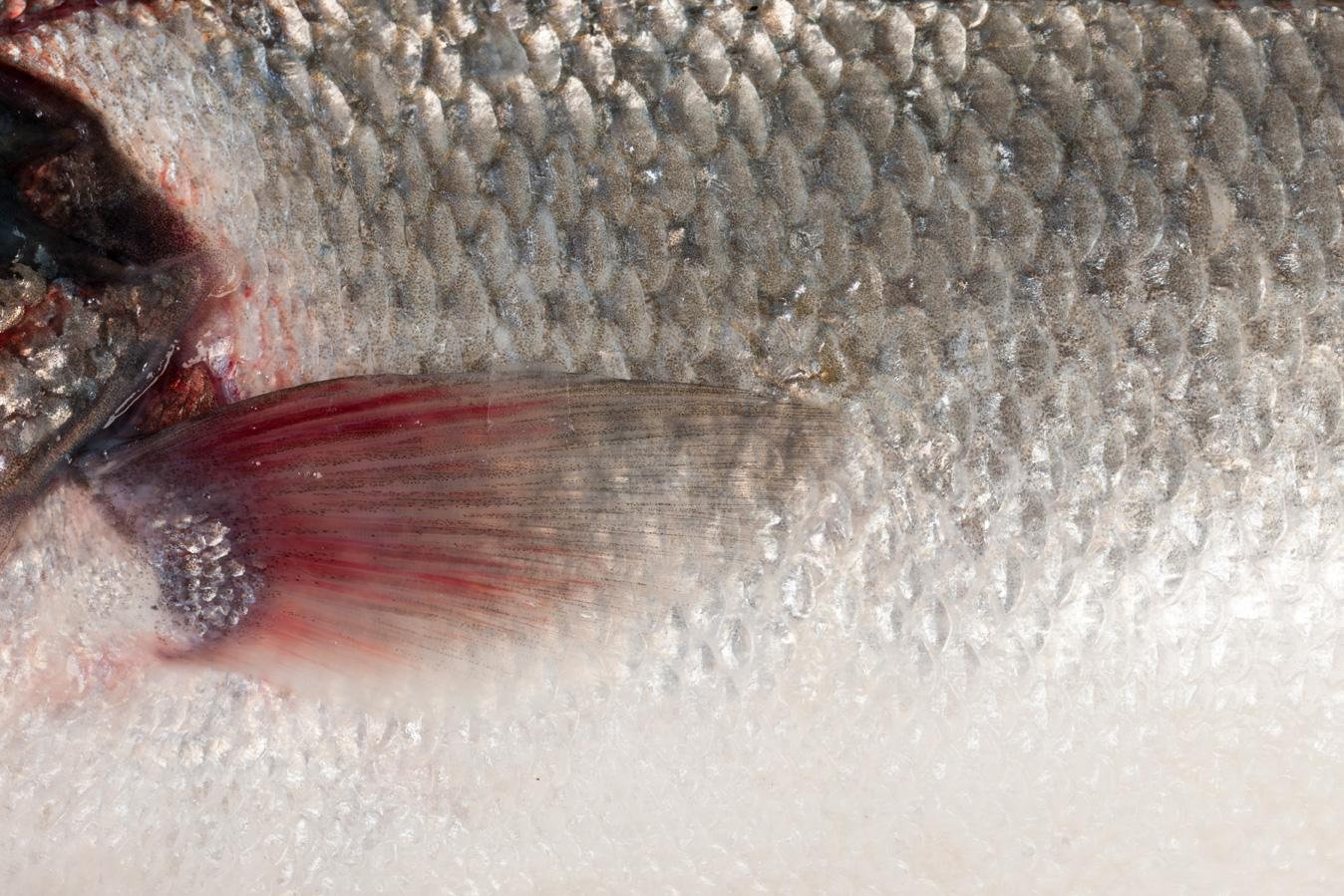 Groothandel-vis-FishXL-vis-zeebaars_WL_9320
