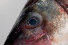 Groothandel-vis-FishXL-vis-zeebaars_WL_9321