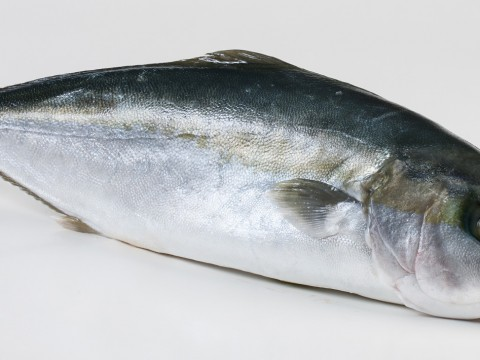 Hamachi – yellowtail kingfish
