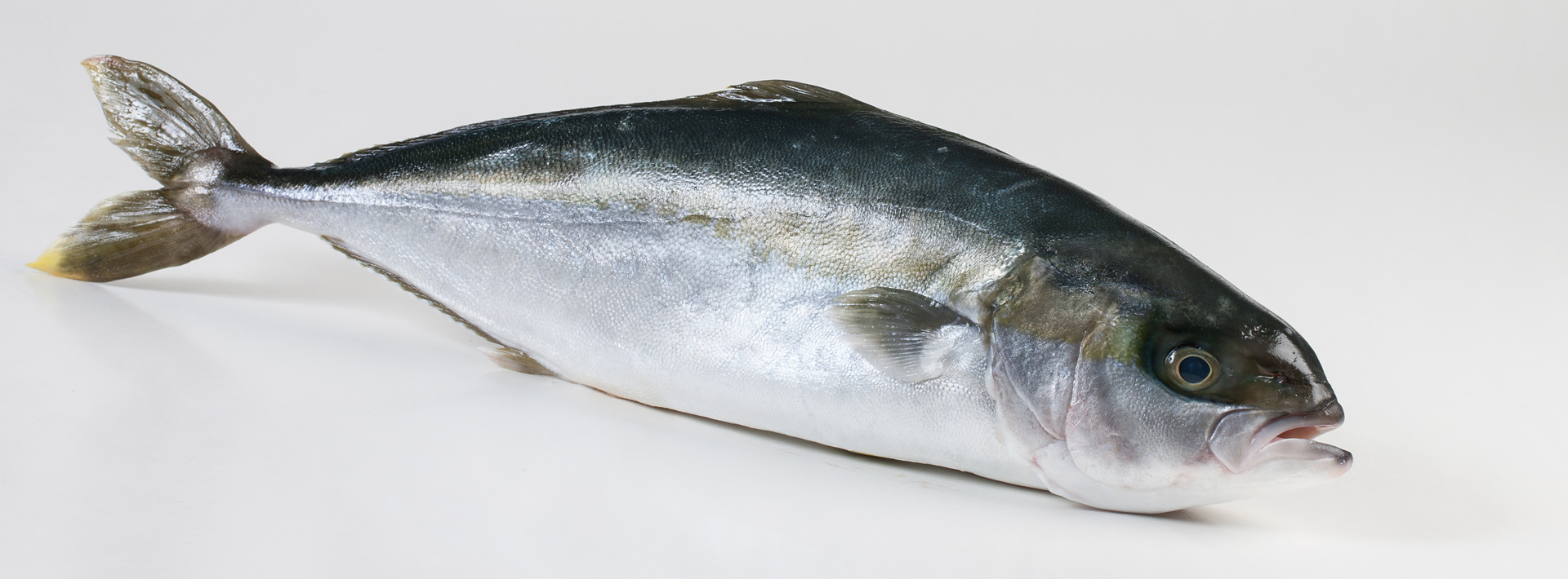 Hamachi yellowtail kingfish fish xl for Yellow tail fish