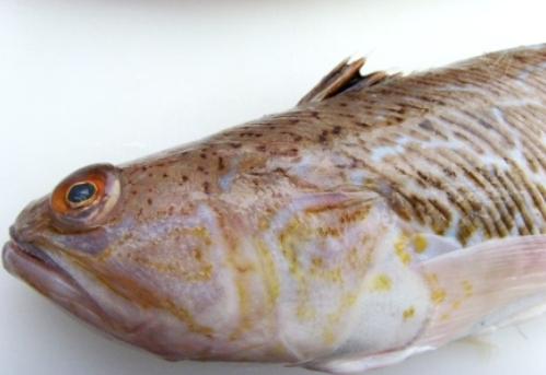 pieterman - fish xl