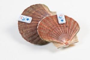 305005-1_Coquilles schelp gedoken 11-12 cm